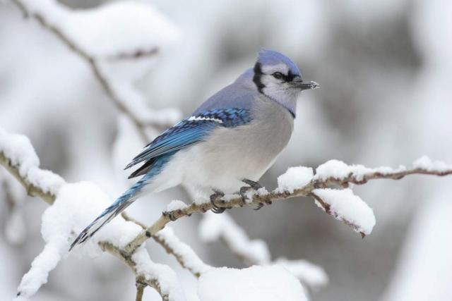 Иногда сойки подражают ястребам, чтобы обмануть других птиц и отогнать их от еды.