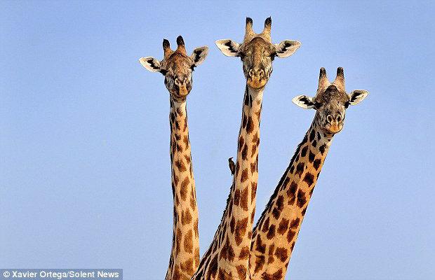 три головы жирафа_1