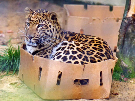 10 доказательств того что все кошки любят коробки