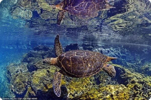 Подводный мир Галапагосских островов от Октавио Абурто