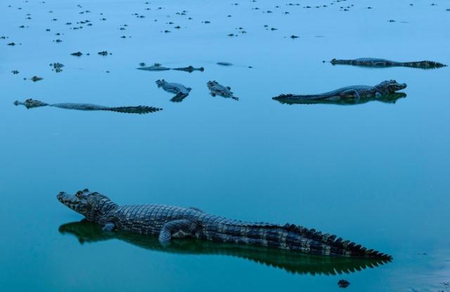 Победитель в категории «вода»: Встреча с аллигаторами. Автор: Jorge André Diehl, Бразилия.