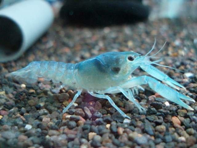 Для представителей вида характерен насыщенный синий цвет тела, в связи с чем их используют в качестве декоративного аквариумного животного.
