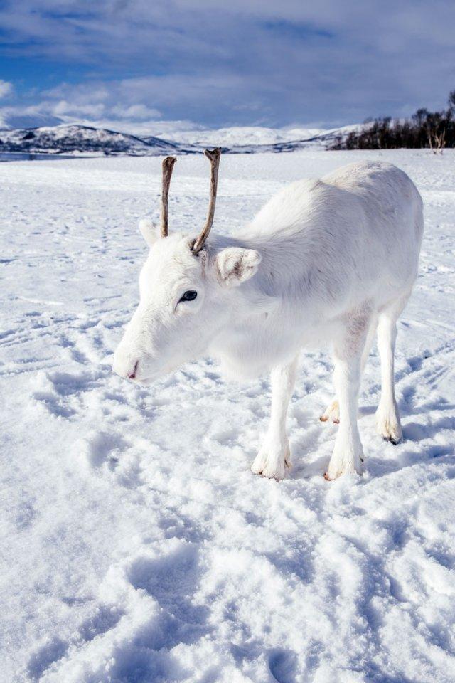 Природное чудо: в сети появились снимки редкого белого оленя - фото 414471