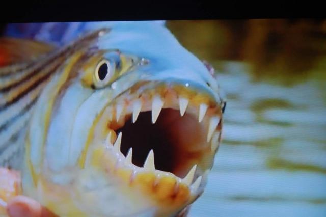 Большая тигровая рыба даже в молодом возрасте имеет внушительную пасть.