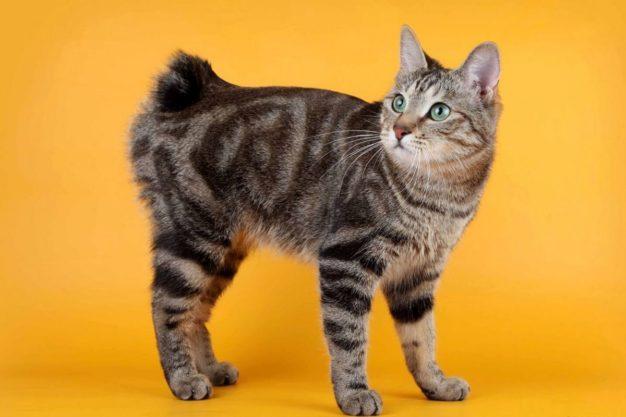 Мэнкс породы кошек