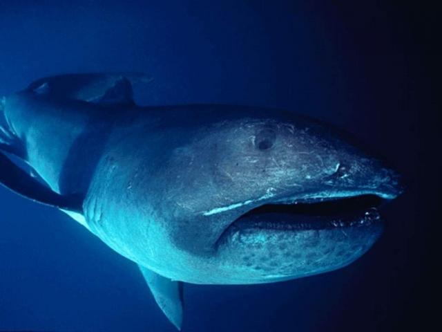 Большеротая акула - уникальное и редкое существо.