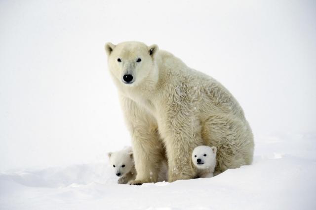 Медвежата впервые вышли из берлоги