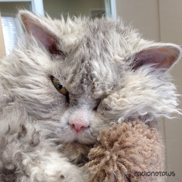 Альберт — Суровый Кот В Овечьей Шкуре