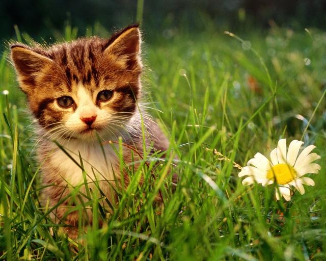 Блохи у кошек, как их вывести