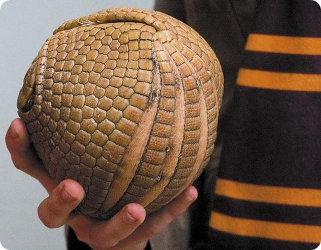 Сворачиваясь в подобный шар броненосец становится практически неуязвимым.
