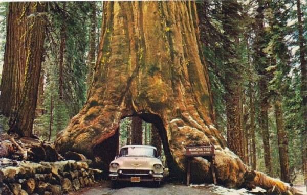 Как люди губили огромные деревья ради развлечений (18 фото)