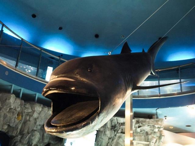 Макет большеротой акулы в музее.