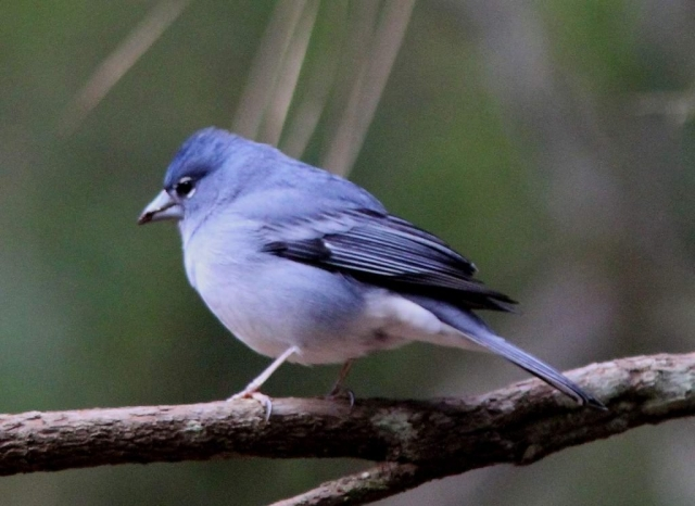 Вид голубой зяблик ныне находится под угрозой.