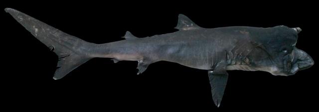 Пелагическая большеротая акула (Megachasma pelagios).