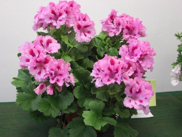 Комнатные цветы фото самых