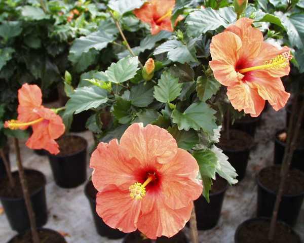 hibiscus bang volle bloei(1)