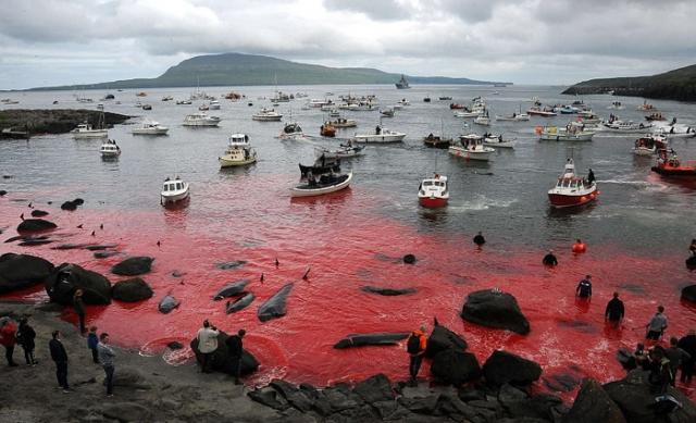 Воды залива окрашиваются в красный цвет во время забоя дельфинов.