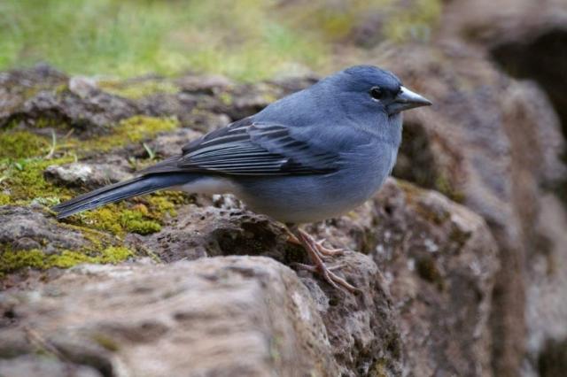 Поиски корма у птиц проходят в сосновых лесах, частично на горных склонах с густым кустарником.