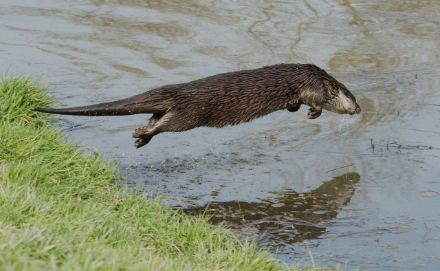 Выдра, прыгающая в воду
