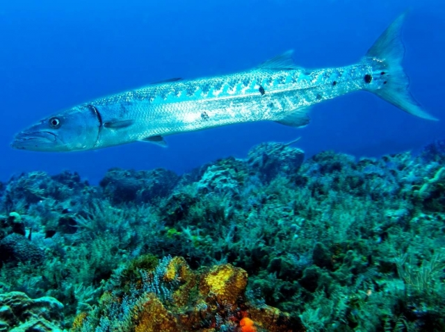 Барракуда - большая жадина, она может поймать столько рыбы, сколько даже не сможет съесть.