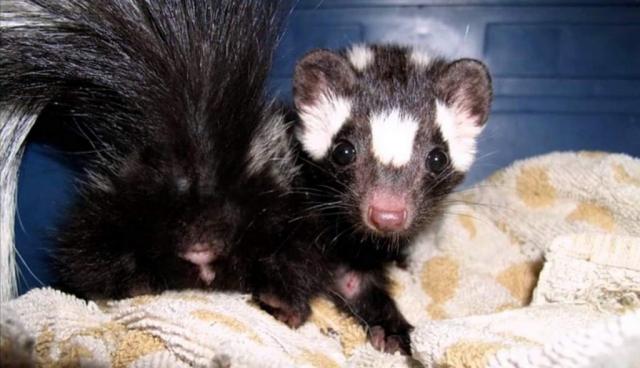 Скунсовые, особенно пятнистые, являются второстепенными пушными животными.
