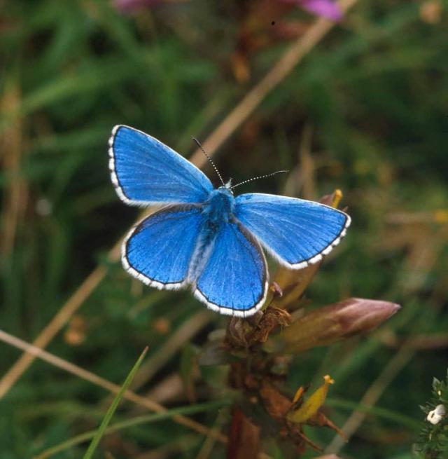 Голубая окраска крыльев у самок выражена не так сильно, как у самцов.