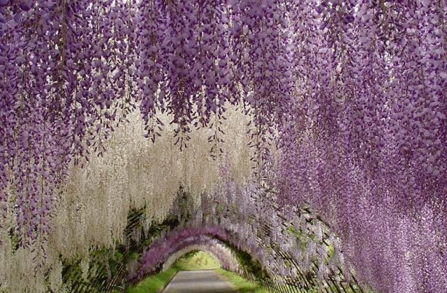 Фото: Удивительные пейзажи парка цветов в Асикага (Фото)