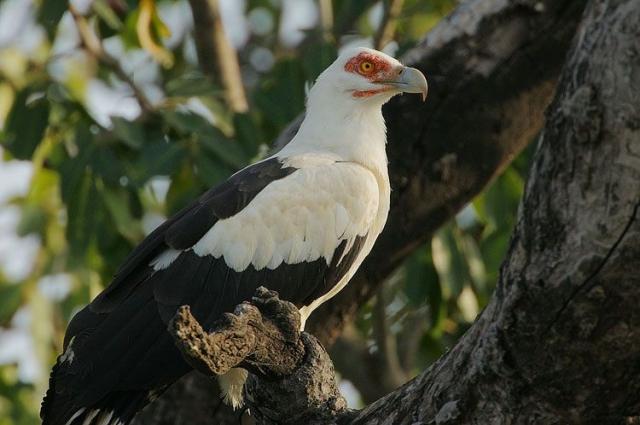 Пальмовый гриф, или грифовый орлан (Gypohierax angolensis).