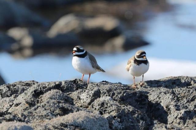 На острове Папа-Стур в Великобритании организован заказник, где галстучник включена в список охраняемых видов.