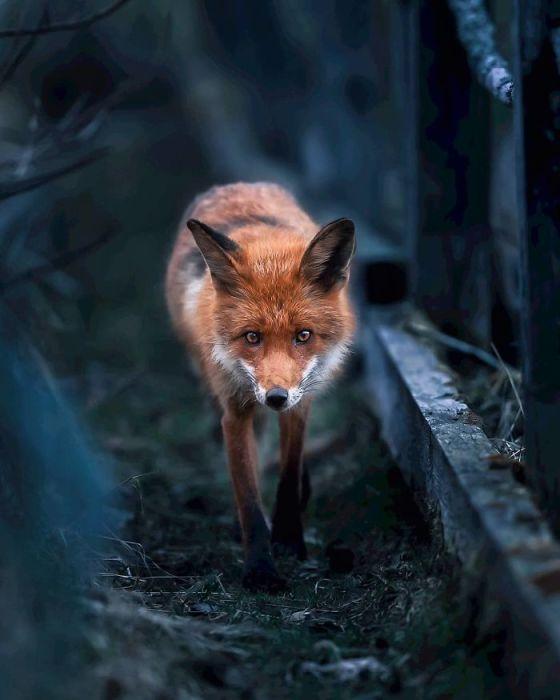 Одинокая лиса, гуляющая по ночам.