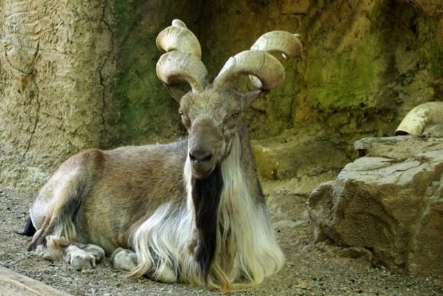Совершенно необычную форму имеют рога винторогого козла - они сильно уплощены, без валиков, но закручены в спираль вокруг оси роста