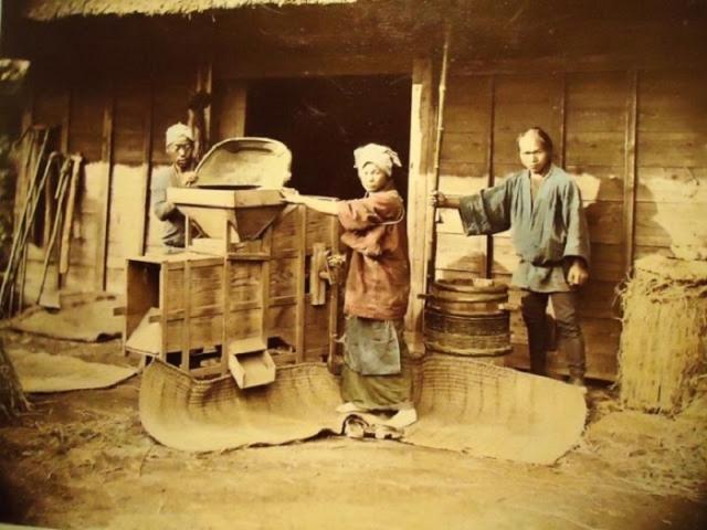 Рабочие обрабатывают рис.