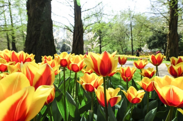 Один из многочисленных сортов тюльпанов, выращиваемых в Нидерландах.