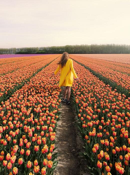 По всей стране голландцы выращивают более 1500 различных сортов тюльпанов.