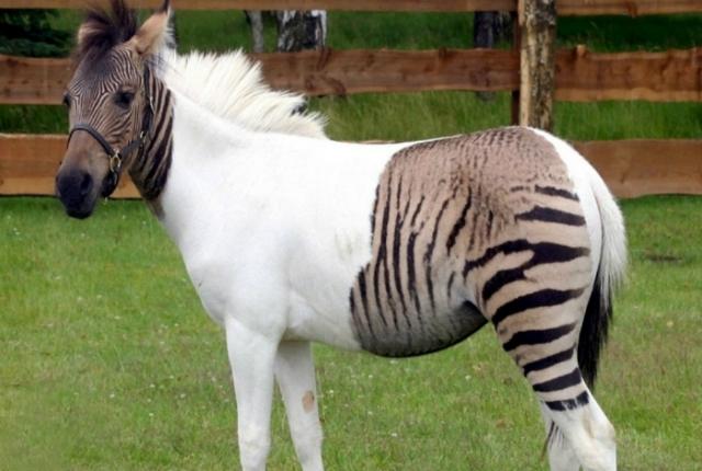 Зеброид - помесь пони и зебры.
