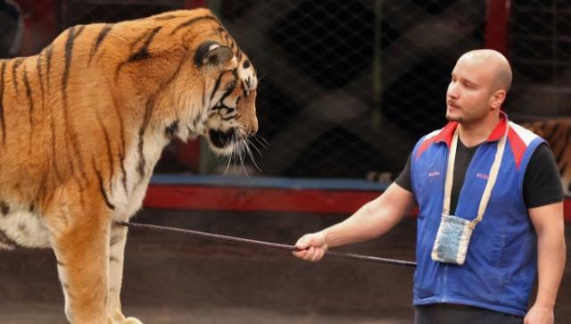Дрессировщик тигров Артур Багдасаров. Фото: vesti.ru