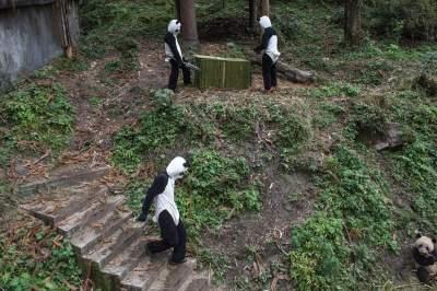 National Geographic показал, как устроены фермы панд в Китае. Фото