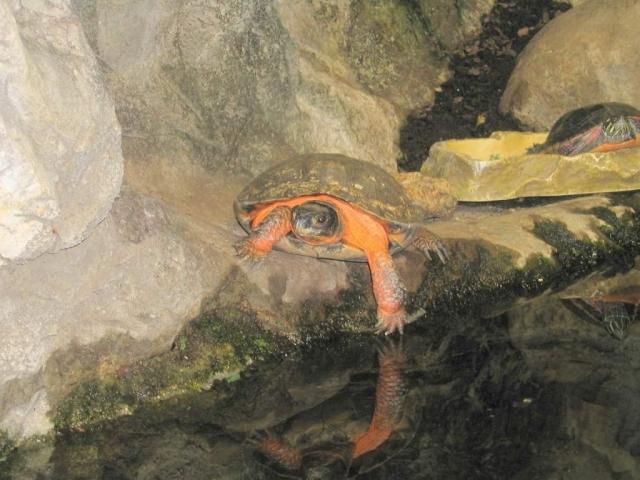 Деревянная черепаха (Glyptemys insculpta)