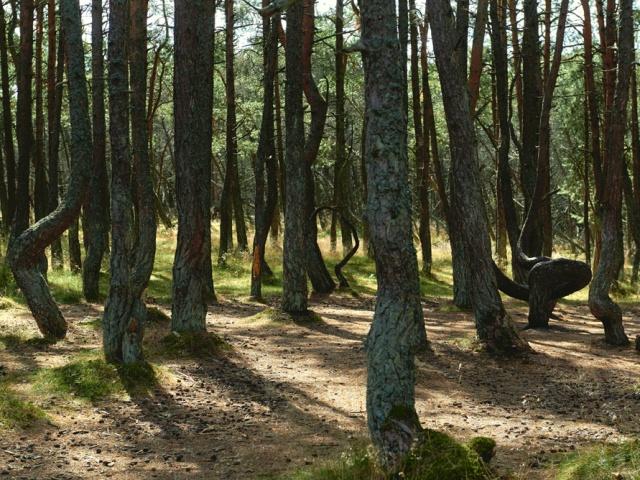 Российская часть Куршской косы богаче на природные достопримечательности. Например, здесь находится так называемый танцующий лес, где можно увидеть сосны с причудливо закрученными стволами