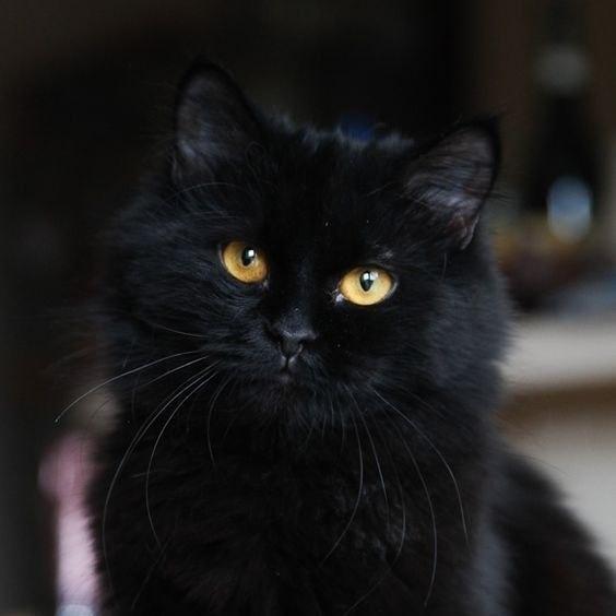 И почему их считают плохои приметои? .Мне неприятности приносят люди, а черные кошки добро и ... - 6