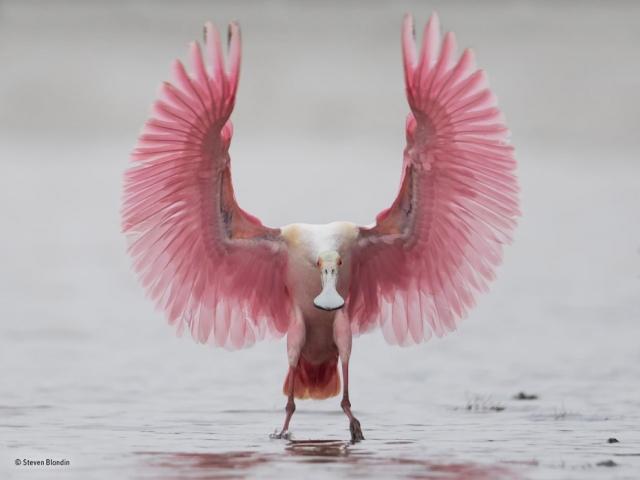 Розовая колпица — птица из семейства ибисовых
