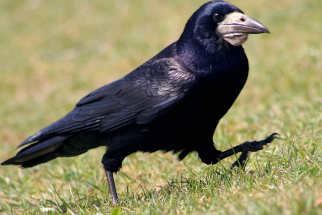 Грач (Corvus frugilegus).
