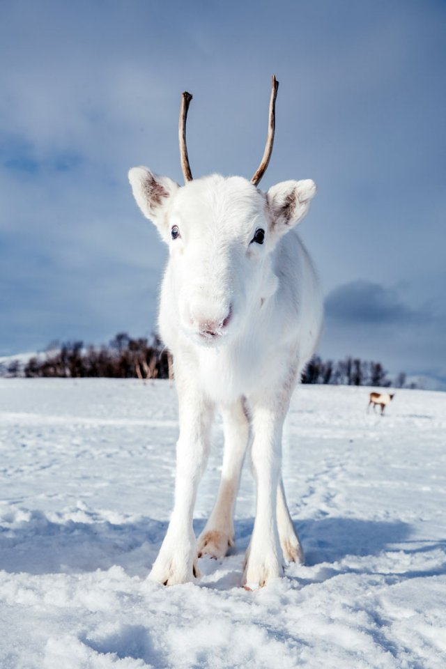 Природное чудо: в сети появились снимки редкого белого оленя - фото 414472
