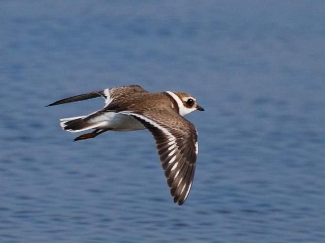 На внутренней стороне крыла галстучника белая полоса, которую видно в полете.