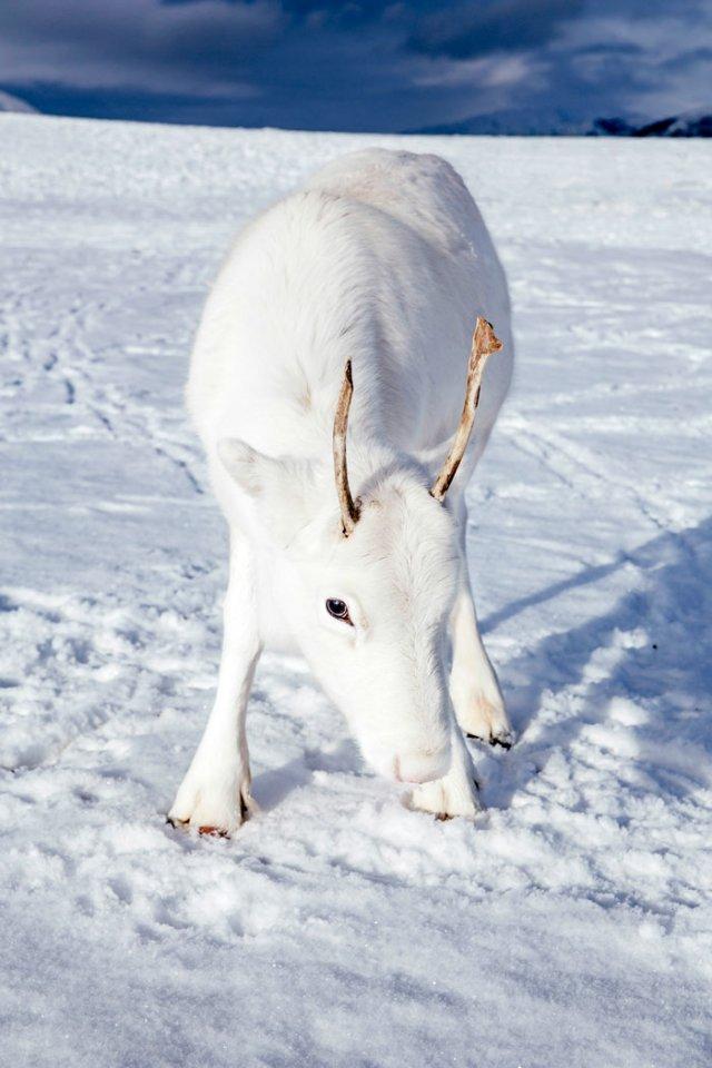 Природное чудо: в сети появились снимки редкого белого оленя - фото 414473