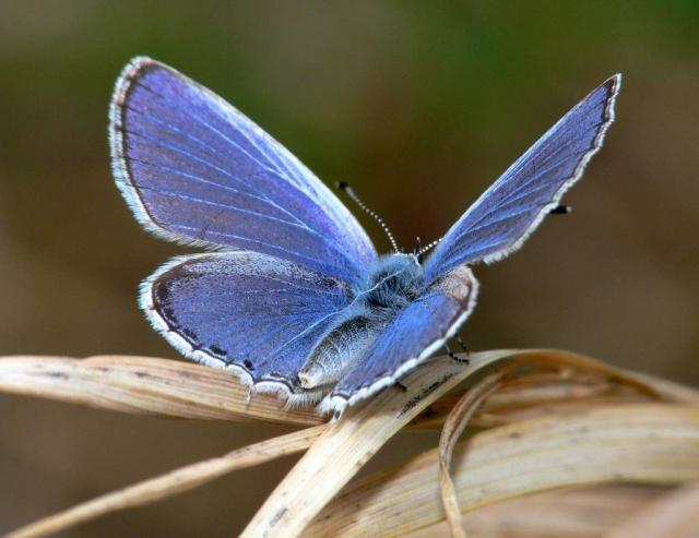 Голубянки в погоне за отвоевыванием территории могут вступать в конфликты с другими бабочками.