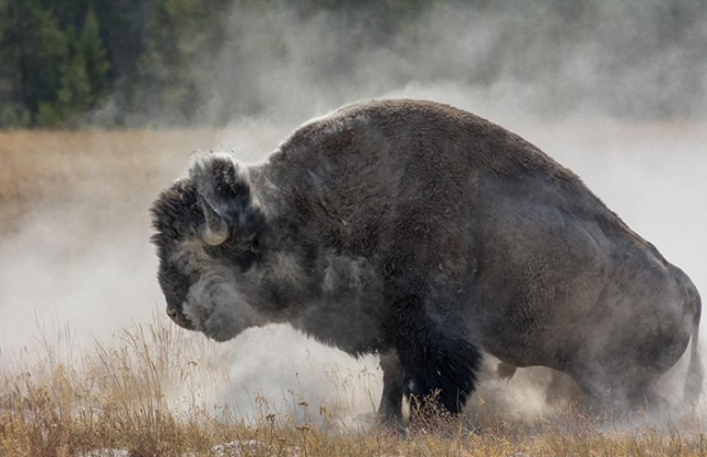 Спасло фотографа то, что он заранее знал, как надо спасаться от бизона.