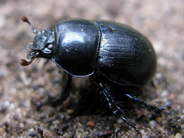 Фото навозного жука