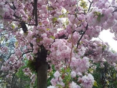 Цветение сакуры в Ужгороде показали в ярких снимках. Фото