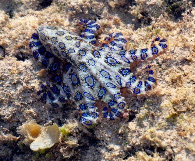 Голубокольчатый осьминог (Hapalochlaena maculosa).
